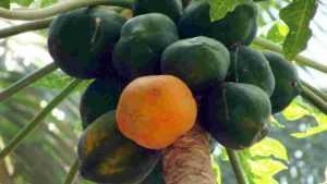 Papaya meaning in Hindi
