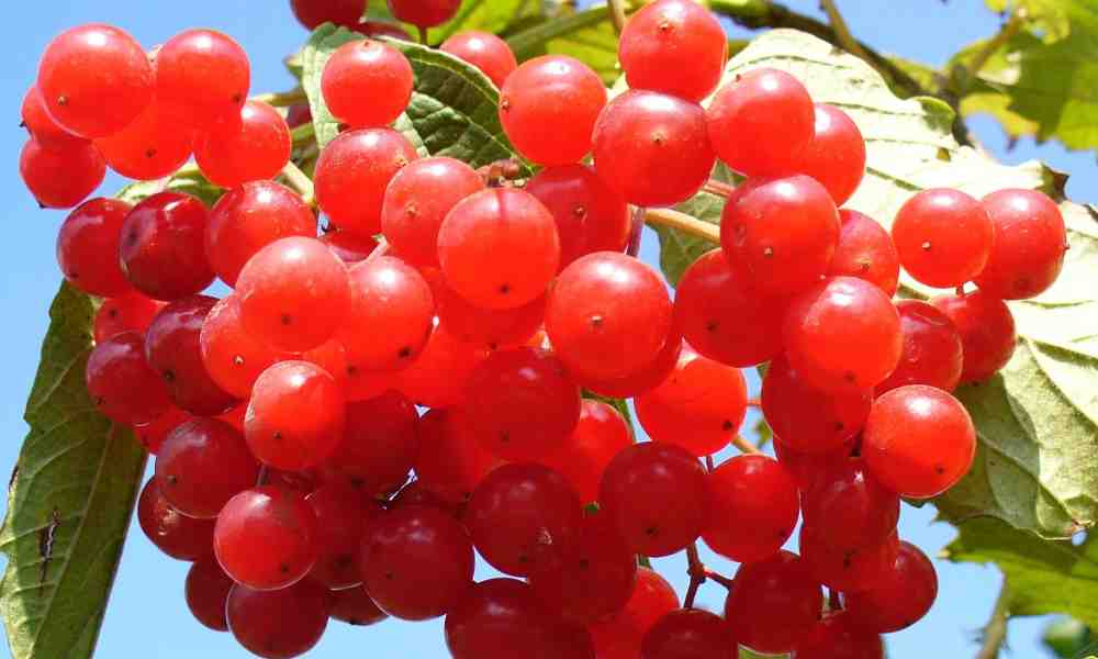 Fruits name in hindi : करोंदा ( Karonda ) - Cranberry ( क्रैनबेरी )