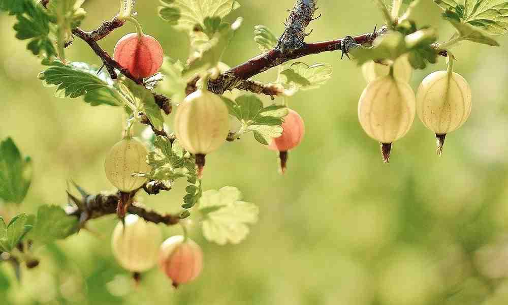 करौंदा ( Karaunda ) - Gooseberry ( गूजबेरी )