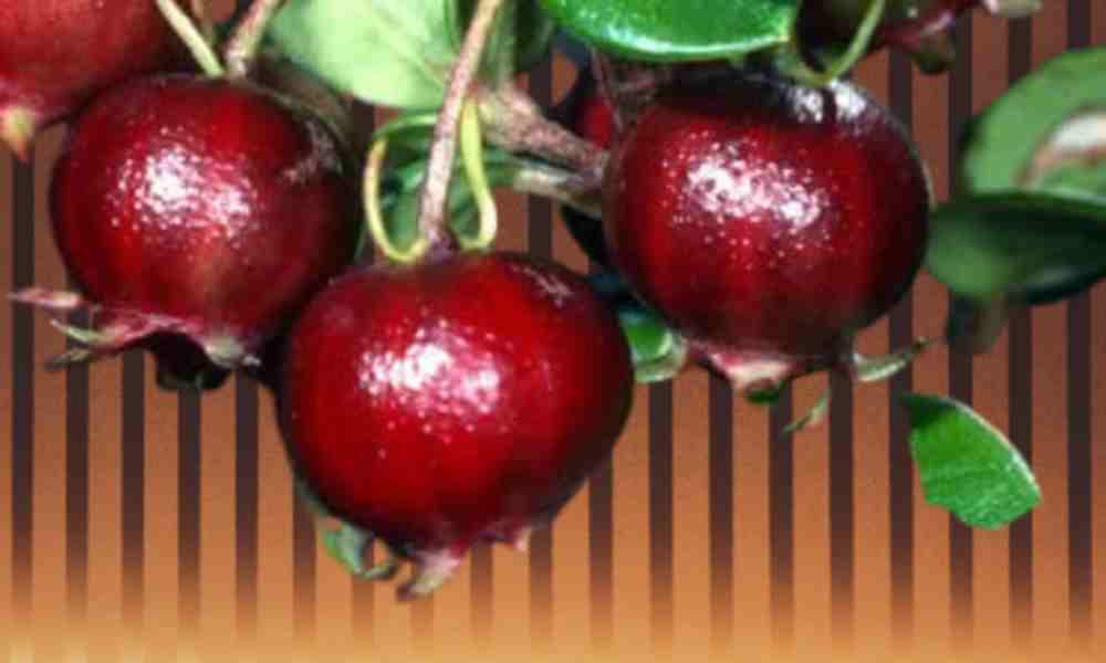 Fruits Name in Hindi उग्नी - Ugni