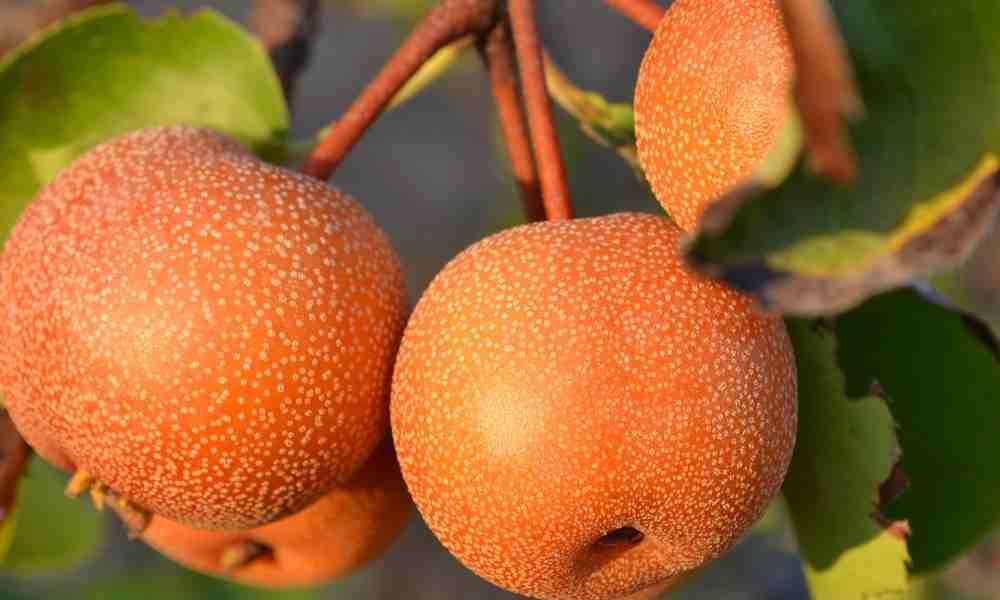 नाशी नाशपाती - Nashi Pear
