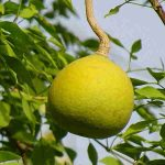 Wood Apple : Bael ( बेल )