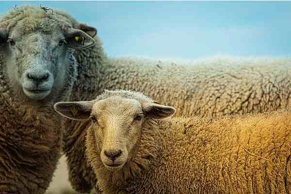 Domestic Animals name _ Sheep