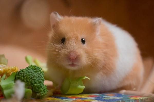 Domestic Animals name - Hamster