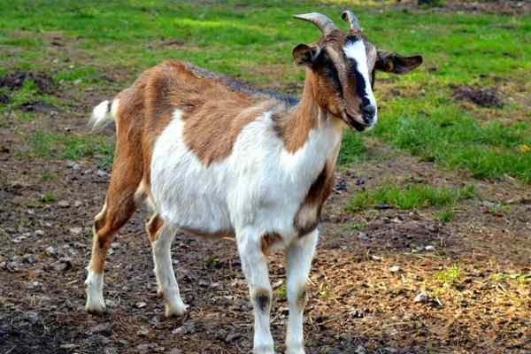 Paaltu janwar ke Naam Goat