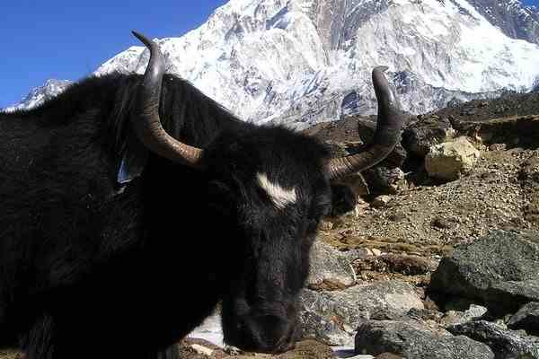 Domestic Animals name - Yak