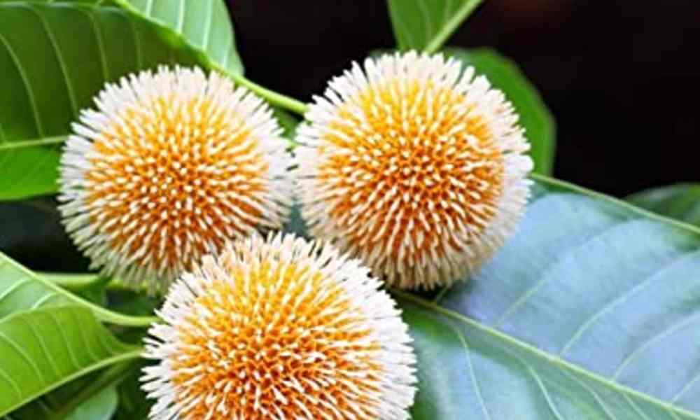 कदम्ब फल - Kadamba Fruit