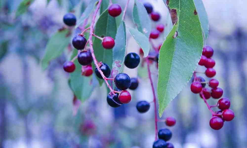 हकल बेरी - Huckle Berry