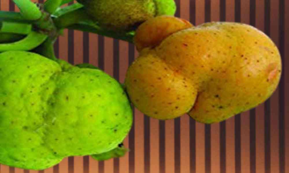 बरहर ( Barhar ) - Monkey Fruit / Lakoocha
