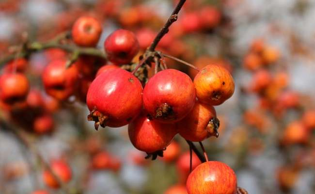 Crab Apple Meaning in Hindi