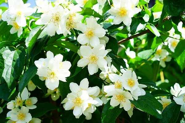 Five Flowers Name - Jasmine