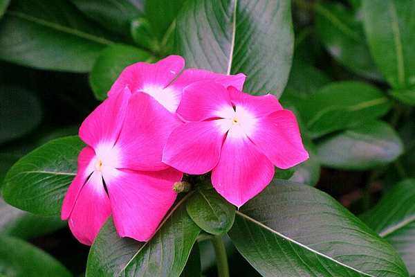 Five Flowers Name - Periwinkle