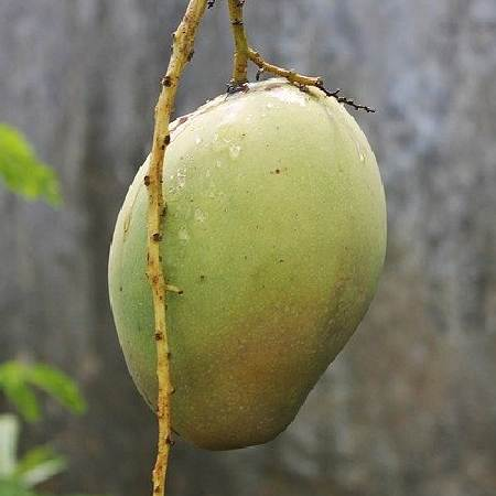 Five Fruits Name - Mango - Aam
