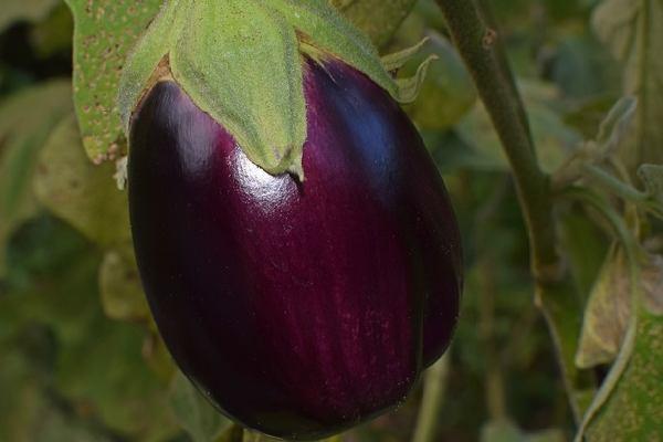 Five Vegetables Name - Eggplant