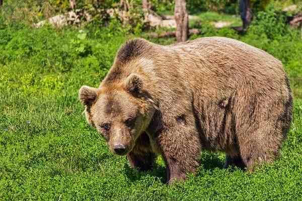 Five Wild animals Name - Bear