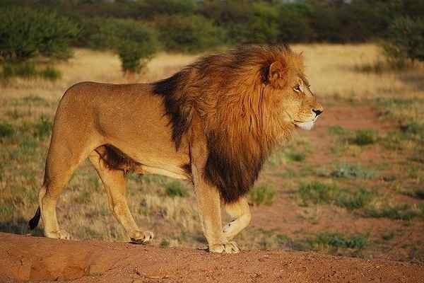 five wild animals name - lion